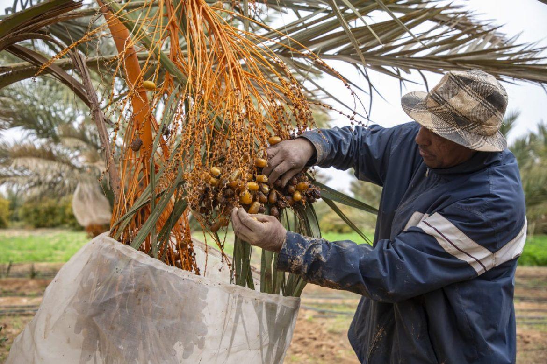 Les dattes du sud est du Maroc en 2020 face à un double enjeu !